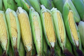 Corn will display signs of ripeness when it is ready for picking.