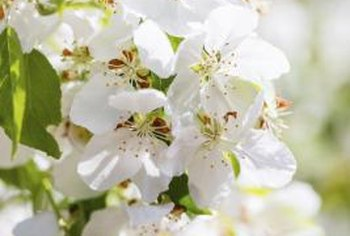 Crabapple trees have white blossoms.