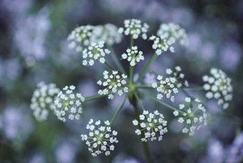 Baby's Breath, a florist favorite, is a type of yarrow.