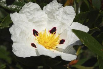 Some rock rose flowers have a central cluster of yellow stamens.