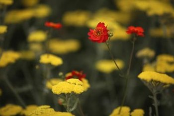 Yarrow, like these at the London's Chelsea Flower Show, make good companions for coreopsis.