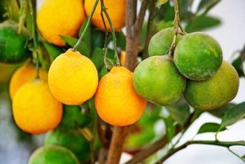 Healthy citrus trees bear fruit generously.
