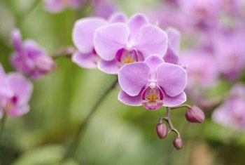 Phalaenopsis species are also called moth orchids.