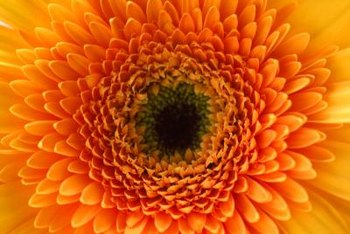 You'll find gerberas with orange, white, yellow, pink or red flowers.