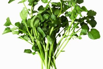 Grow and harvest your own fresh watercress at home.