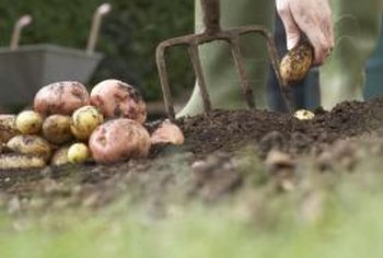 Two pounds of seed potatoes yields 50 pounds of edible roots.