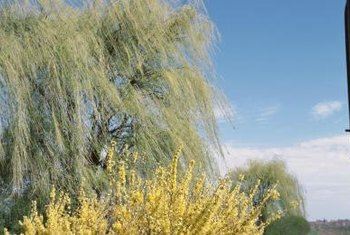 Weeping willow trees display drooping branches.