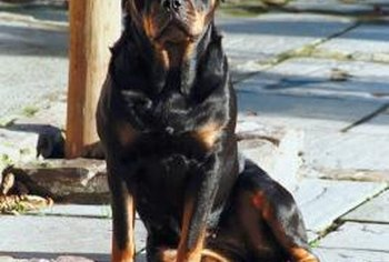 Your pet Rottweiler might raise the cost of your homeowners insurance.
