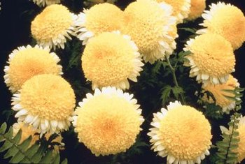 Pyrethrum is made from chrysanthemum oils and dried petals.