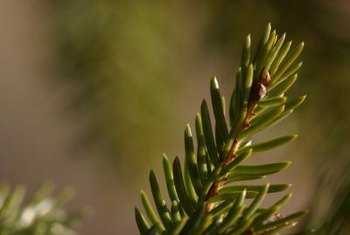 The dwarf spruce's needles may turn brown in the heat.