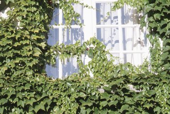 Ivy can complement building facades, but should be kept away from windows.