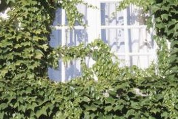 Ivy plants thrive in partial to full shade.