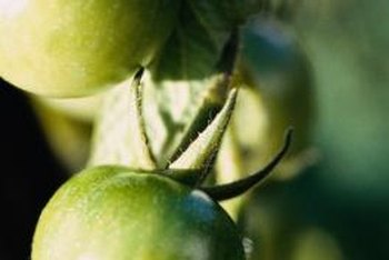 Given enough time, green tomatoes will ripen.