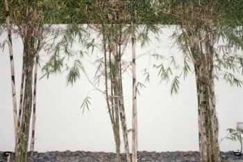 Use Clumping Bamboo To Create Screens Hedges And Focal Points In Your Landscaping