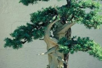 The rugged charm of juniper bonsai can be enhanced with selective grafting.