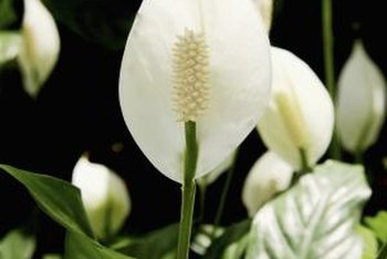 Peace lily bears spikes of tiny, true flowers surrounded by flowerlike spathes.