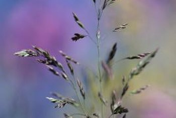 Grasses develop seed heads that contain small grass seeds.