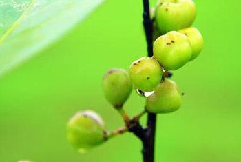 Green berries provide one clue about your tree.