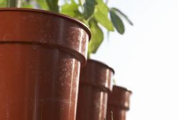 Potted tomato plants allow gardening using minimal space.