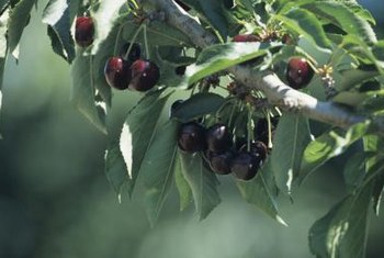 Fertilize to maintain the growth rate of cherry trees.