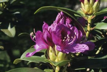 Rhododendron blooms last for three weeks, on average.
