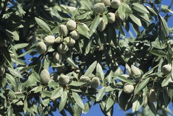 To get almonds on your trees, you need the blooms to be pollinated.