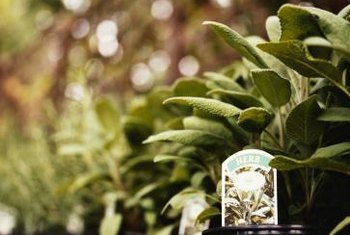 Sage bushes start small but grow to a cozy 2 or 3 feet tall.