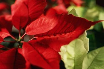 Layers of square napkins can resemble poinsettias on your holiday table.