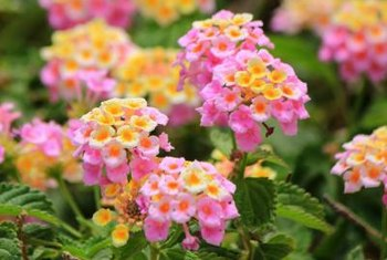 Lantana flowers attract colorful butterflies and hummingbirds.