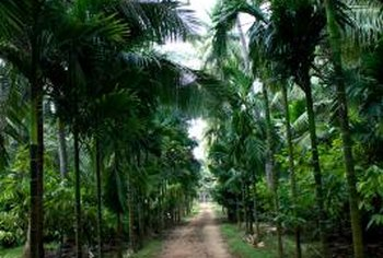 Medium or large palm trees are often planted along driveways and walkways for shade and definition.