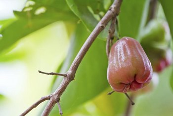 Jambu fruit possess a waxy appearance.