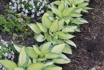 Hostas are a magnet for deer, so surround them with more deer-proof plants to protect them.