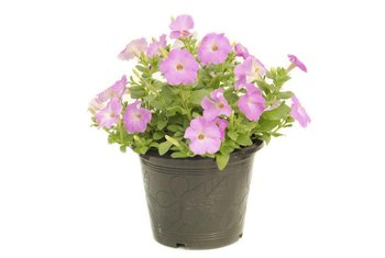 The typical plastic gallon flower pot serves for many plant species.