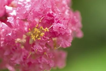 Crepe myrtles bear pink, red or purple flower clusters.