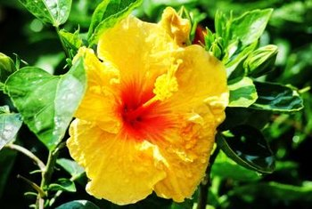 Yellow hibiscus has been the state flower of Hawaii since 1988.