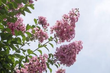 Crepe myrtle flower clusters are pyramind-shaped.