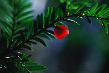 Yew are conifers that produce red berries instead of cones.