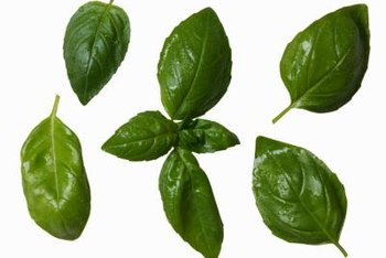 Basil is useful for both culinary and ornamental purposes.