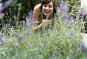 Watch for wasps when picking lavender.