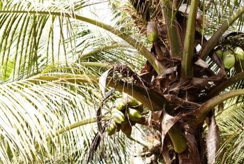 Palm fruits range from small berries to large coconuts.