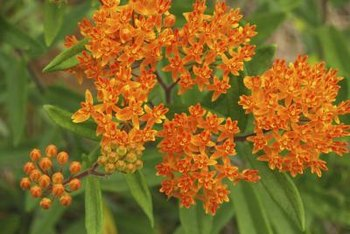 Butterfly weed flowers are a favorite nectar source for monarch butterflies.