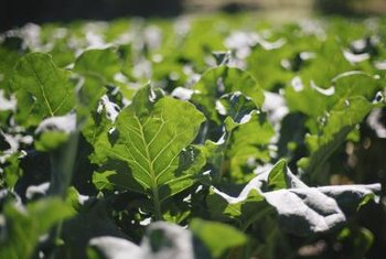 The goitrogens in collard greens can interfere with the workings of your thyroid.