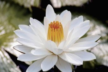 Water lily blossoms can be white, yellow, orange, pink or blue.