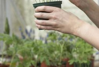Seeds and seedlings grow well in a high-quality potting mix.