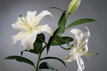 Easter lilies scent a room with a delicate perfume.