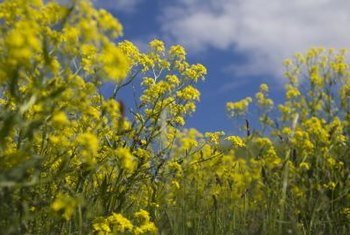 Woad bears clusters of small, yellow flowers.