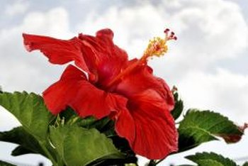Forcing a hibiscus overwintering indoors to flower may diminish its summer blooms.