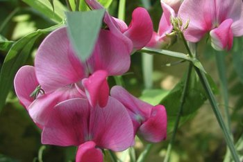 Perennial sweet pea is a tenacious, weedy plant that can become invasive.
