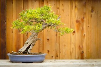 The dwarf pomegranate can be trained as a bonsai.