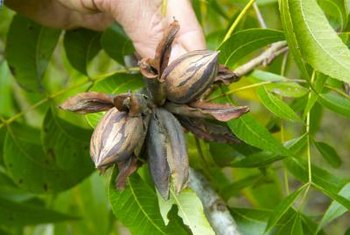 Leaf gall can destroy the beauty of a pecan's lush foliage.